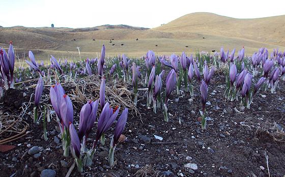 kiwi-saffron.jpg